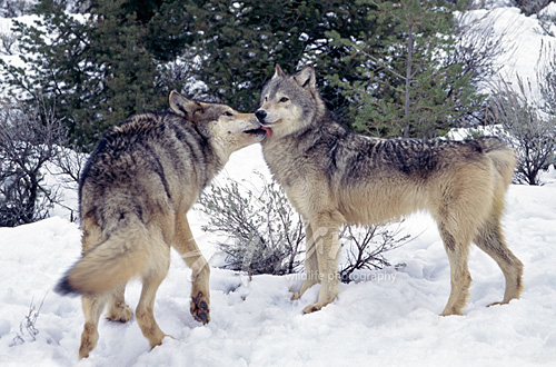 Gray wolf greeting the pack leader Montana *