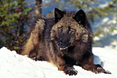 Black wolf resting in the snow