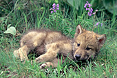 Gray wolf pup resting in the grass