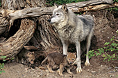 Gray wolf and pups