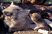 Gray wolf & pup