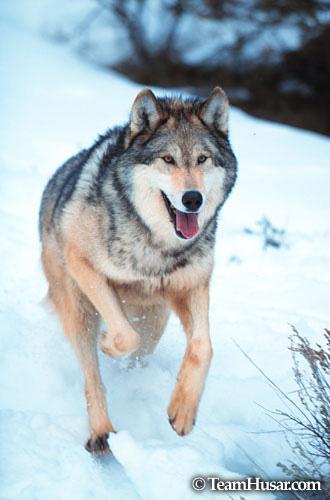 Running wolf Montana *