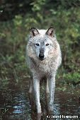 Adult wolf standing in shallow creek