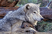 Wolf pup snuggling up to its mom at the den site