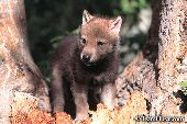 Wolf pup standing on a tree stump