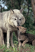 Wolf pup licking its mother