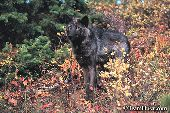 Black wolf standing in fall foliage