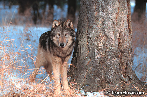 Gray wolf standing at the base of a tree Montana *