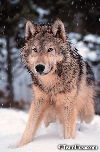 Snow falling on gray wolf Montana *