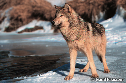 Gray wolf standing on frozen river Shields River, Montana *