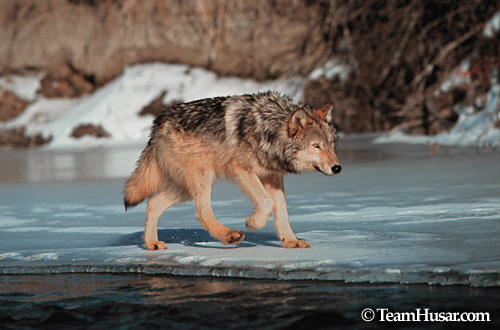 Gray wolf walking on ice Shields River, Montana *