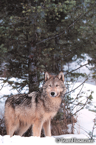 Gray wolf in snowstorm Montana *