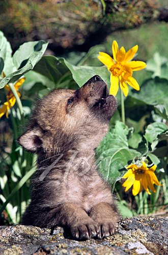 Wolf pup howling near some flowers Montana *