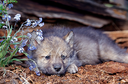 Wolf pup Montana *