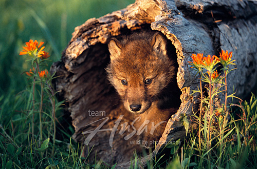 Gray wolf pup in a hollow log Minnesota *