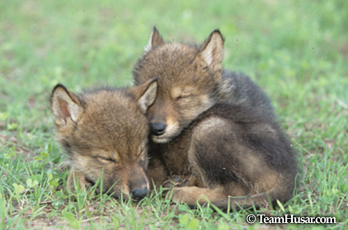 Wolf pup sleeping on its sibling Minnnesta *