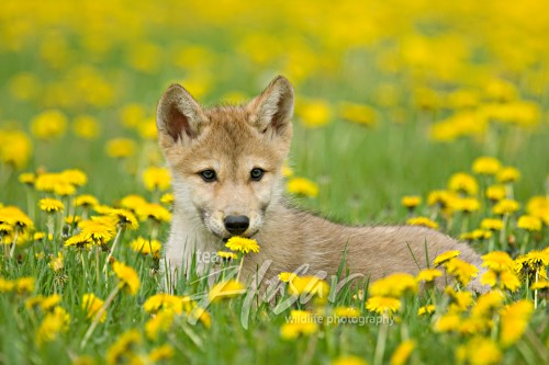Wolf pup in a field of dandelions Minnesota *