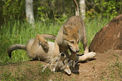 Pair of wolf pups playing near the den Minnesota *