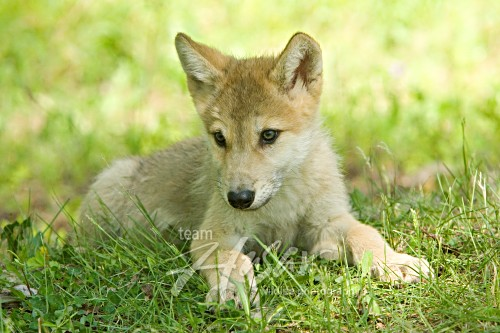 Wolf pup resting in grass Minnesota *