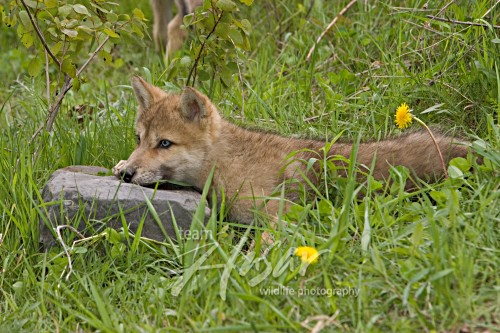 Wolf pup resting on a rock in grass Minnesota *