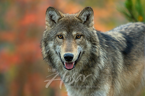 Timber wolf in the forest (autumn) Minnesota *