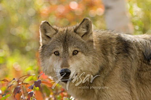 Alert timber wolf in the forest (autumn) Minnesota *