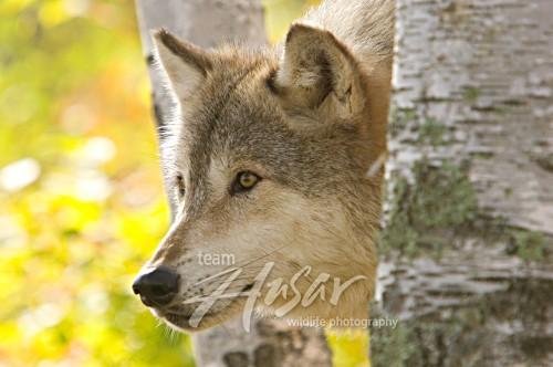 Alert timber wolf in a birch forest (autumn) Minnesota *