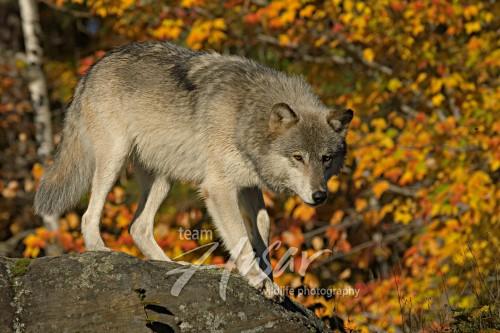 Timber wolf on a boulder (autumn) Minnesota *