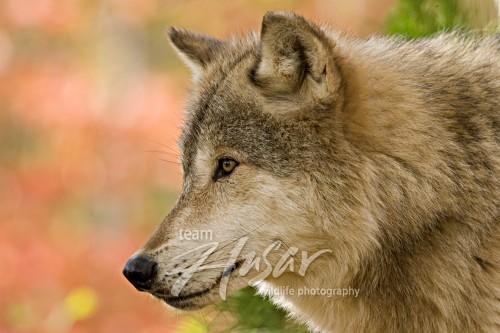 Timber wolf in autumn foliage Minnesota *