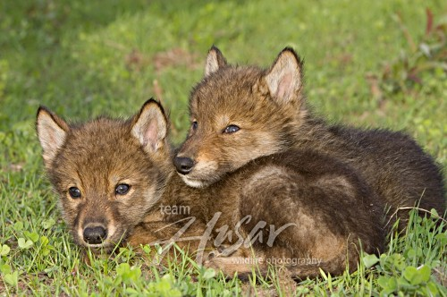 Pair of wolf pups resting in the grass Minnesota *