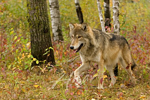 Timber wolf in a forest (autumn) Minnesota *