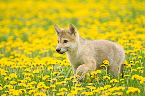 Wolf pup in a dandelion field Minnesota *