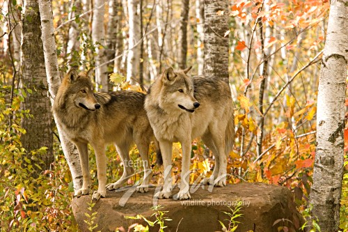 Adolescent & adult wolf on a large boulder (autumn) Minnesota *