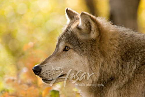 Adult timber wolf in a forest (autumn) Minnesota *