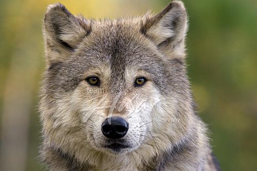Adult timber wolf Minnesota *