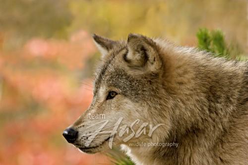 Gray wolf portroit (autumn) Minnesota *