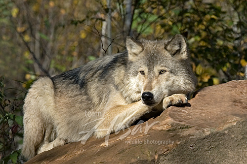 Timber wolf resting on a large boulder (autumn) Minnesota *