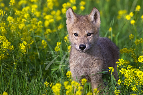 Wolf pup in a meadow of wildflowers Minnesota *