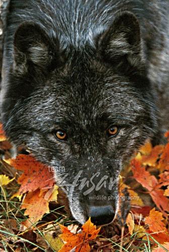 Black wolf (autumn) Minnesota *
