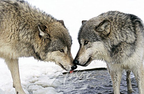 Nuzzlinlg wolf pair Minnesota *