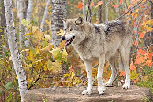 Timber wolf in autumn woods Minnesota *