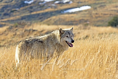 Adult wolf in tall grass Montana *