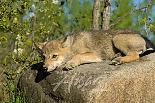 Wolf pup resting on a boulder Minnesota *