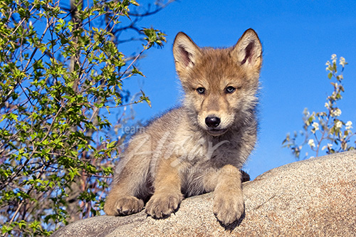 Wolf pup resting on a large boulder Minnesota *