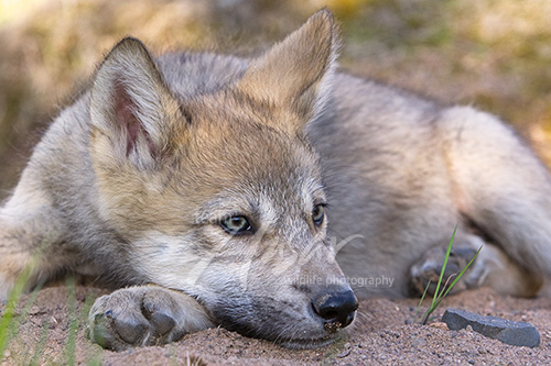 Wolf pup resting its head on its paw Minnesota *