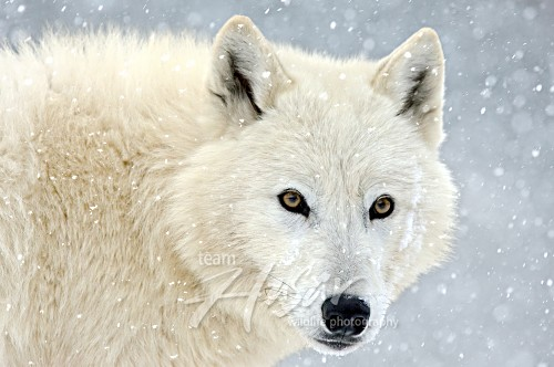 Arctic wolf in snowstorm *