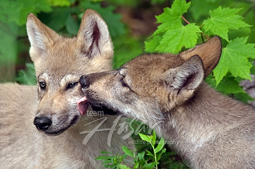 Wolf pup greeting its sibling with a lick Minnesota *