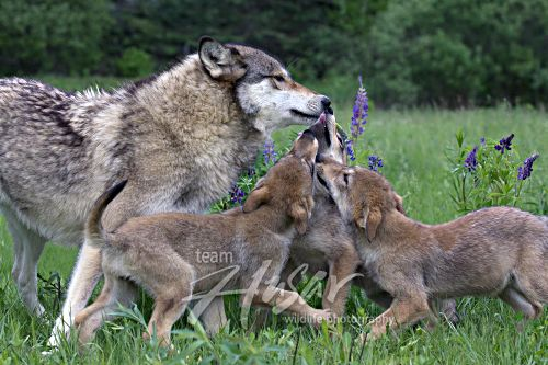 Three wolf pups greeting their mother Minnesota *