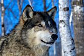 Adult wolf in a winter birch forest