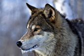 Gray wolf with snow on its muzzle
